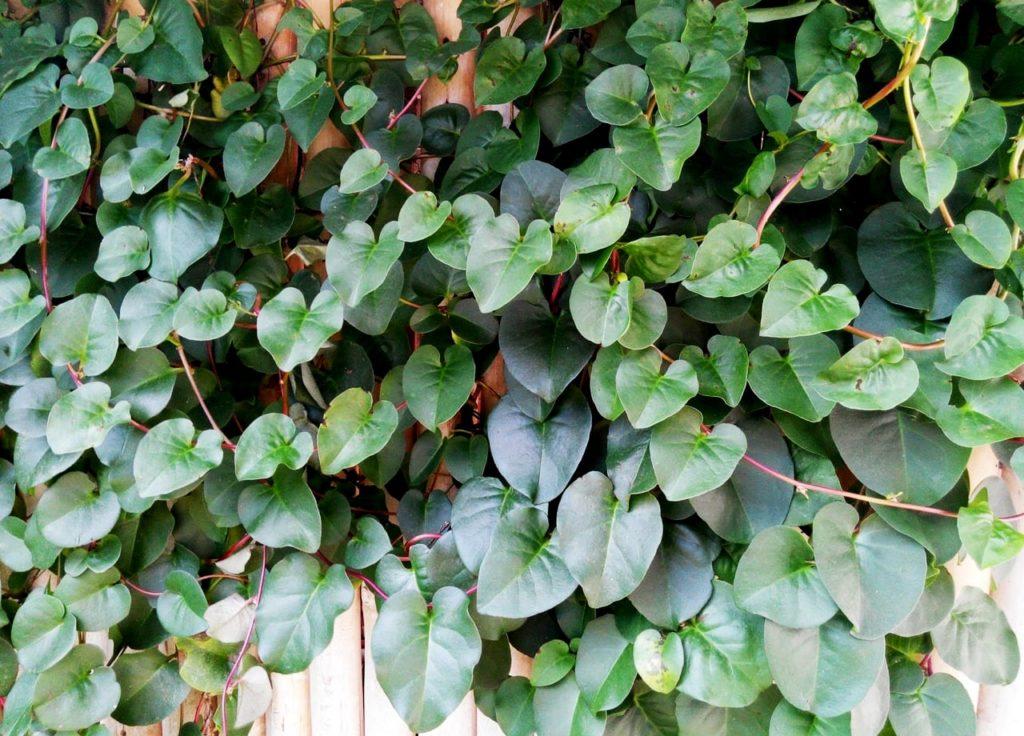Mengobati luka secara alami menggunakan tumbuhan Binahong