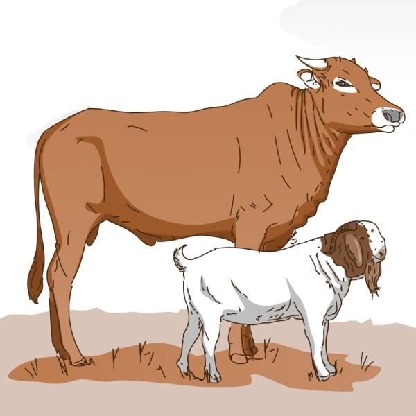 Keuntungan dan Kerugian Memakan daging sapi saat qurban